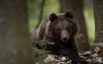 Finalist#11: The Brown Bear Kingdom